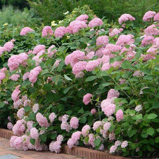 """Гортензія """"АНАБЕЛЬ ПІНК"""" деревоподібна (Hydrangea arborescens `Pink Annabelle`) / Саджанці"""