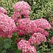 "Гортензія ""АНАБЕЛЬ ПІНК"" деревоподібна (Hydrangea arborescens `Pink Annabelle`) / Саджанці, фото 3"