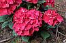 "Гортензия ""РОЯЛ РЕД"" крупнолистная / Hydrangea macrophylla `Royal Red` / Саженцы, фото 2"