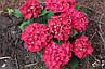 "Гортензия ""РОЯЛ РЕД"" крупнолистная / Hydrangea macrophylla `Royal Red` / Саженцы, фото 6"
