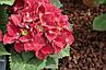 "Гортензия ""РОЯЛ РЕД"" крупнолистная / Hydrangea macrophylla `Royal Red` / Саженцы, фото 4"