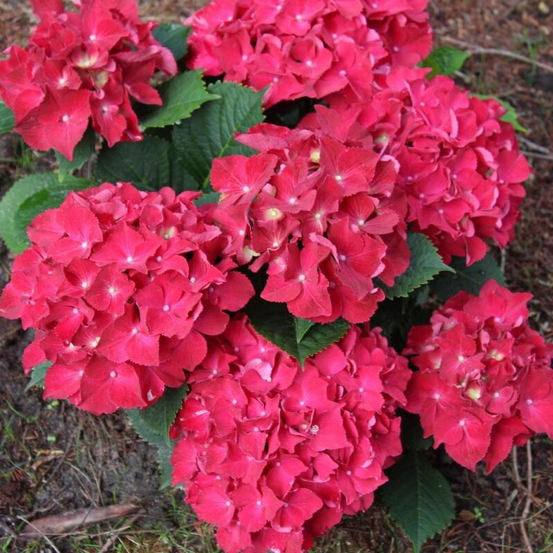 "Гортензия ""РОЯЛ РЕД"" крупнолистная / Hydrangea macrophylla `Royal Red` / Саженцы"