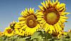 Гібрид соняшника АРМАГЕДОН (іМі) под Євро-лайтнінг. Інститут селекції «ВНІС»