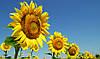 Хімічні гібриди Ауріс, Матадор, Дракон, Сонячний настрій (SU) від  інститут селекції «ВНІС»