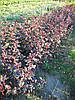 Пухироплідник Physocarpus opulifolius 'Diablo'