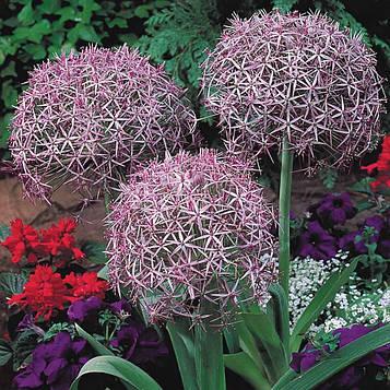 Лук Христофа (Allium Сhristophii)