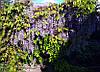 Саджанці Гліцинія, фото 5