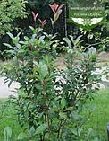 Photinia x fraseri 'Red Robin', Фотінія Фразера 'Ред Робін',C5 - горщик 5л, фото 3