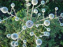 Мордовник шароголовий (крутай, головатень), насіння