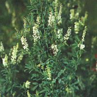 Буркун білий (дворічний) (буркун-укр.), насіння