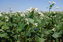 Гречиха сорт Антария (гречка - укр.), семена