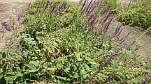 Гісоп лікарський (гісоп лікарський), насіння