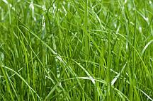 Райграс многолетний пастбищный семена 1 кг