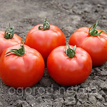 Флорида F1 насіння низькорослого томату 1000 шт Seminis Голландія