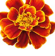 Чорнобривці, чорнобривці квітки 30 гр