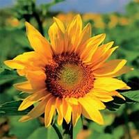 Семена подсолнечника НС-Х-496  (стандарт)