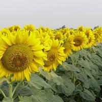 Семена подсолнечника НС-СУМО-2018 (стандарт)