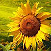 Семена подсолнечника Прими (стандарт)