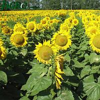 Семена подсолнечника НС-Х-6044 (стандарт)