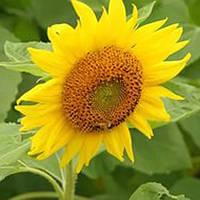 Семена подсолнечника Янина (стандарт)
