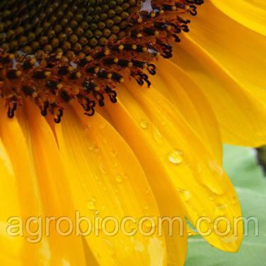 Семена подсолнечника НС-Х-2063 (Элит)