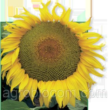 Семена подсолнечника Сержан (стандарт)