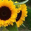 Семена подсолнечника НС Фантазия (стандарт)