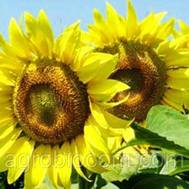 Семена подсолнечника Морава (стандарт)