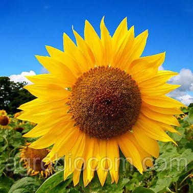 Семена подсолнечника Тиса (стандарт)