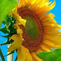 Семена подсолнечника НС Феликс (стандарт)