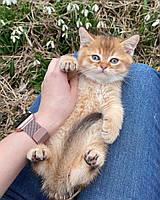 Котенок британская короткошёрстная шиншилла, рожден 10.02.2021 в питомнике Royal Cats. Украина, Киев