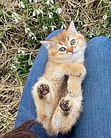 Кошечка британская короткошерстная шиншилла, рождена 10.02.2021 в питомнике Royal Cats. Украина, Киев