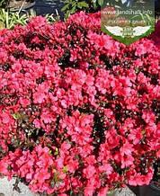 Azalea japonica 'Maruschka', Азалія японська 'Марушка',C2 - горщик 2л
