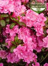 Azalea japonica 'Petticoat', Азалія японська 'Петікот',C2 - горщик 2л