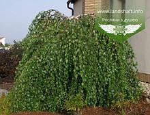 Betula pendula 'Youngii', Береза повисла Юнга,C10 - горщик 10л,PA150-250