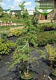 Larix kaempferi 'Diana', Модрина японська 'Діана',C10 - горщик 10л,PA140-160, фото 2