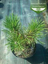 Pinus mugo 'Hesse', Сосна гірська 'Хессе',C10 - горщик 10л
