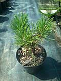 Pinus mugo 'Hesse', Сосна гірська 'Хессе',C10 - горщик 10л, фото 2