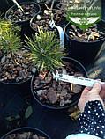 Pinus mugo 'Hesse', Сосна гірська 'Хессе',C10 - горщик 10л, фото 3