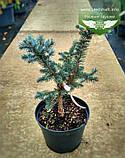 Picea pungens 'Fat Albert', Ялина блакитна 'Фет Альберт',C5 - горщик 5л, фото 2