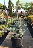 Picea pungens 'Fat Albert', Ялина блакитна 'Фет Альберт',C5 - горщик 5л, фото 3
