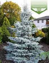 Picea pungens 'Hoopsii', Ялина блакитна 'Хупсі',C5 - горщик 5л