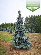 Picea pungens 'Schovenhorst', Ялина колюча 'Шовенхорст',C5 - горщик 5л
