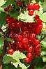 Красная смородина Вика (Vika), средне-ранний сорт