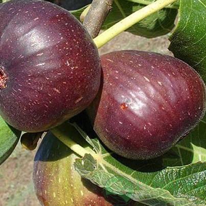 Саженцы инжира сорт Рандино, фото 2
