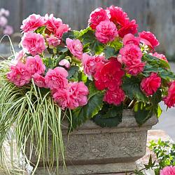 Луковицы Бегония Розовая махровая