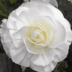 Луковицы Бегония Белая махровая