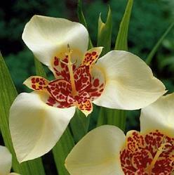 Луковицы Тигридия Кремовая 20-25 см 5шт