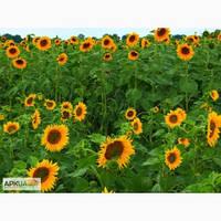 Среднепоздний гибрид семян подсолнечника НК Адажио