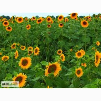 Среднепоздний гибрид семян подсолнечника НК Адажио (Круизер)